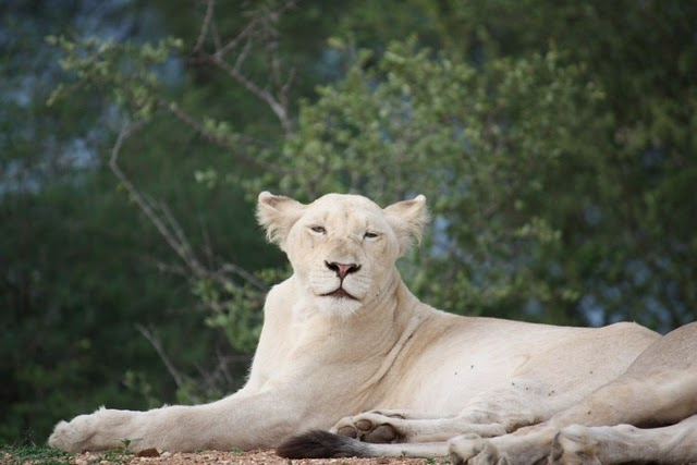 New white lion cub in the Klaserie