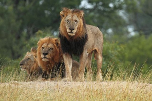 Some really mean looking Mapogo lions!