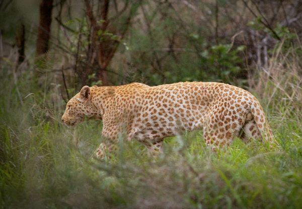 Strawberry Leopard – by Brett Thomson