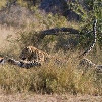 The power of a leopard – by Brett Thomson