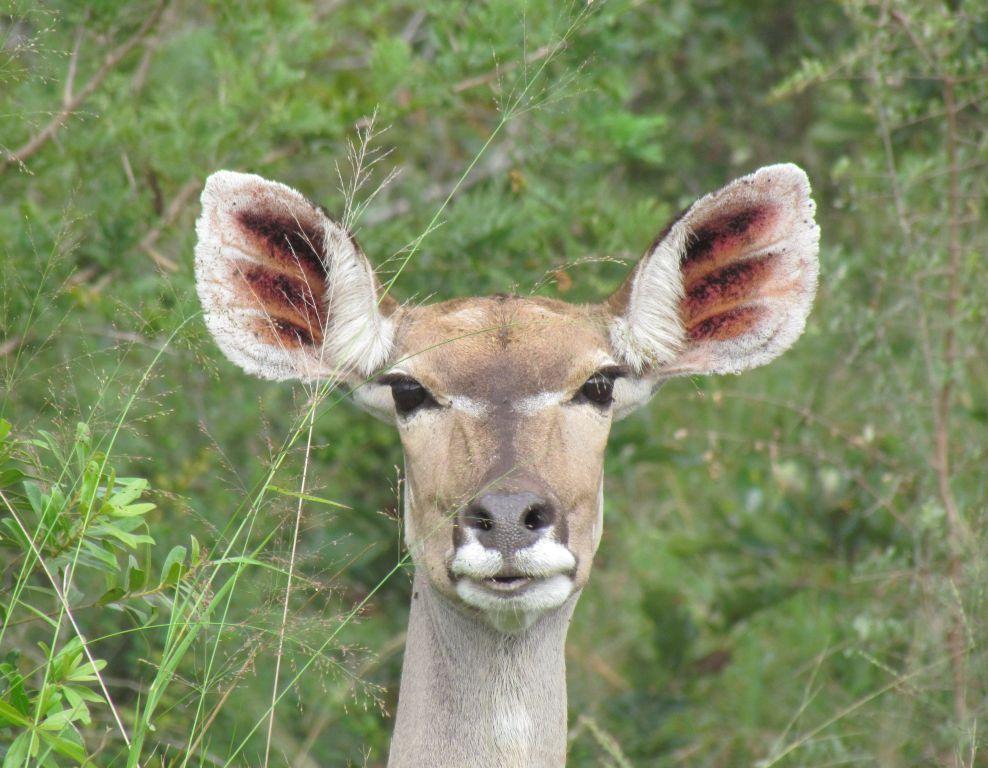 Kruger walking safari at nThambo Tree Camp