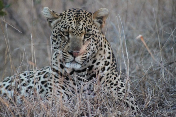 Leopard, one of the Big 5