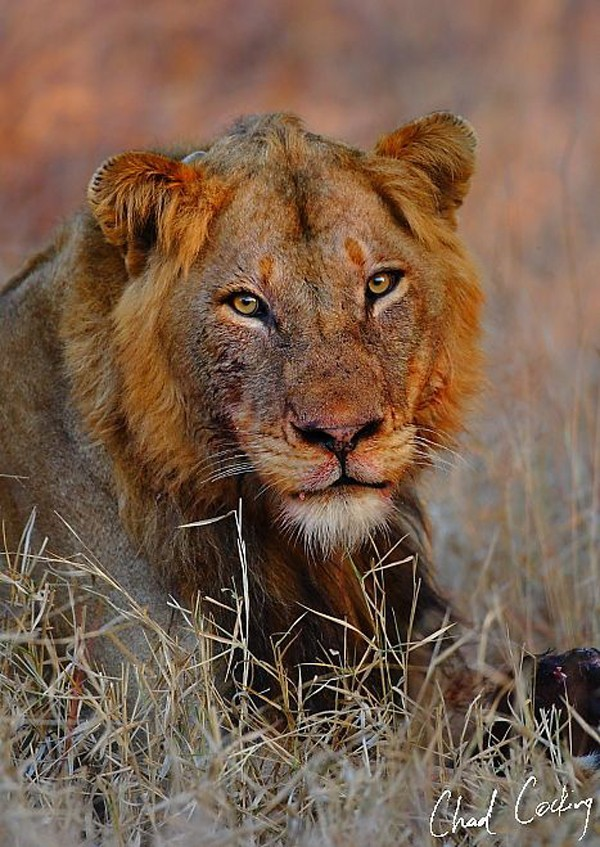 "One of the ""Ghost"" lions that threatens the white lion cub - image by Chad Coking"