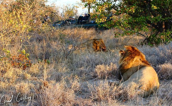 "The ""Ghost"" lions finally seen on  a game drive by Chad Coking and his guests"