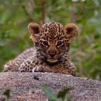 Leopard cub playing with Mom! By Brett Thomson