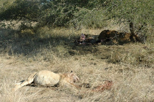 Ghost Male Lions look to take over the Machaton Pride – by Brett Thomson