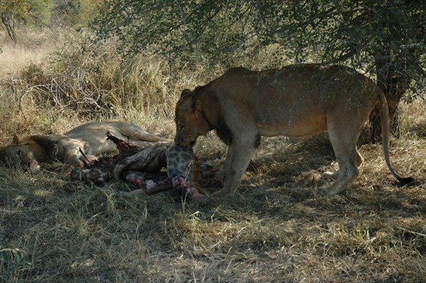 The Ghost Males feed on the stolen giraffe carcass