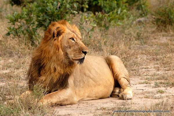 One of the two new males that might take over the Machaton Pride - image from Kings Camp