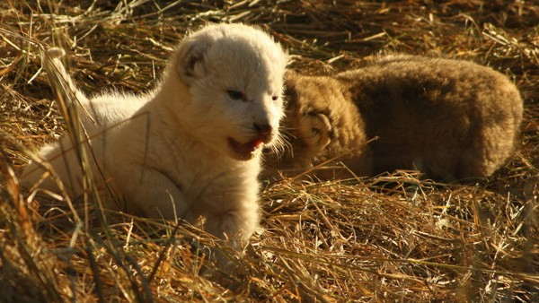 The white lion cub and its tawny sibling from the Ross Pride - image by Rein Kock