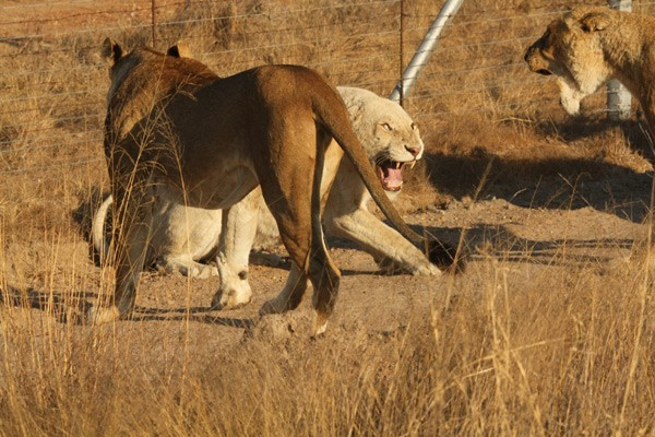 White Lion War at the Kruger – by Brett Thomson