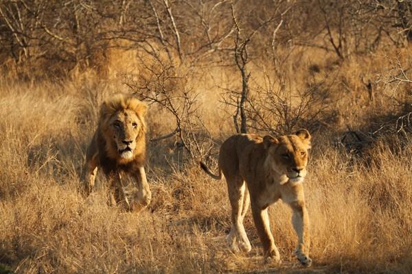 lion war Gallery