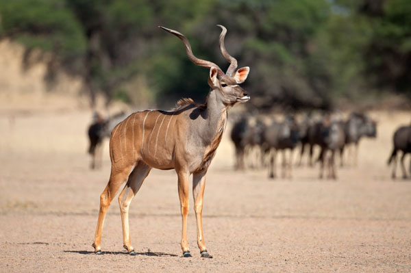 Kgalagadi kudu