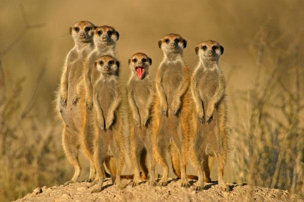 Kgalagadi meerkats