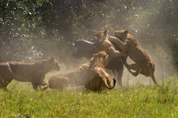 Lions hunting buffalo at Duba Plains