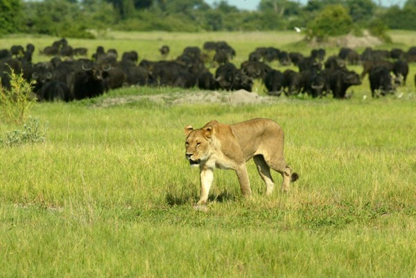 A lioness seen at Duba Plains in the Okavango Delta