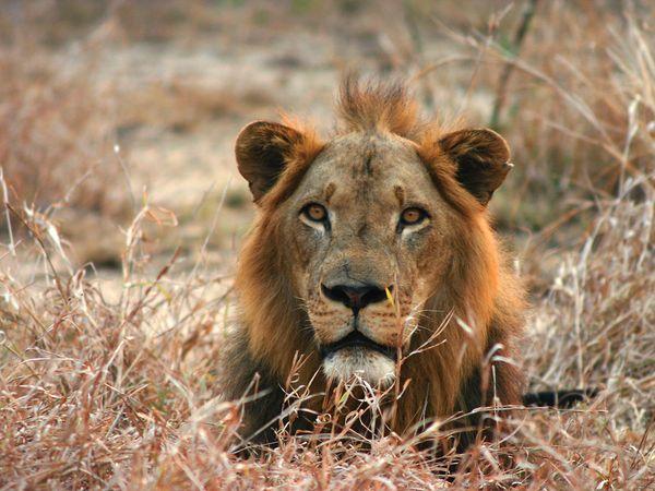 Saving the Lions of Gorongosa National Park
