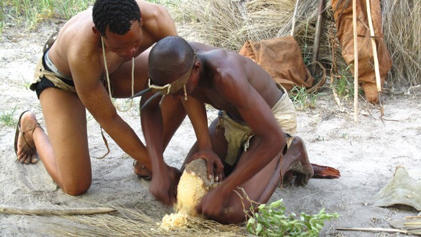 Bushmen Extracting Water from Plants