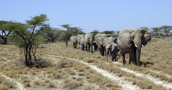 African Elephants Rediscover their Routes