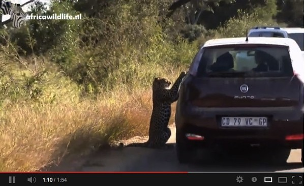 Leopard interacts with car in the Kruger Park