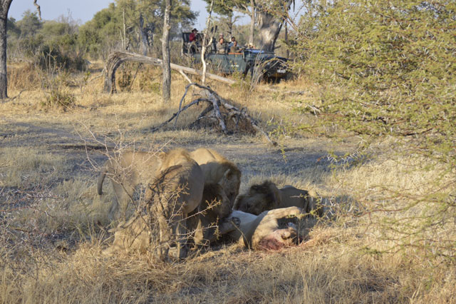 Cannibalistic Lions photographed in Botswana