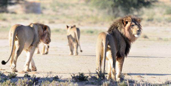 Kalahari Pride