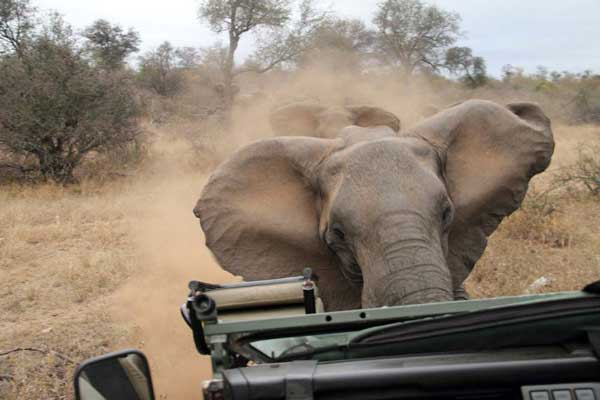 The full story behind the elephant that charged a vehicle in the Kruger Park