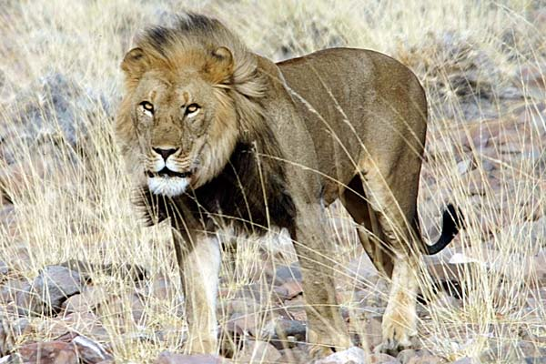 Desert Lion Update: Report from the Lion Rangers in Namibia