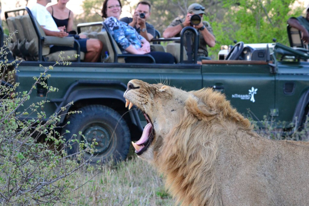 A lion on game drive at nThambo Tree Camp