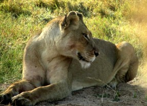 Ross Pride Female Lions Spotted on Safari