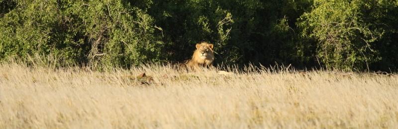 Farewell to Rosh, Desert Lion Legend