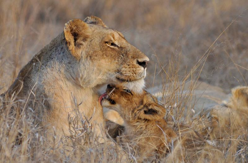 Lioness and cub at Africa on Foot. ©Kevin MacLaughlin