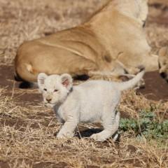 White lion cub seen at Singita Kruger Park