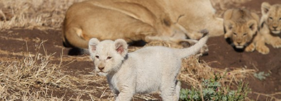 White lion cub seen at Singita Kruger Park
