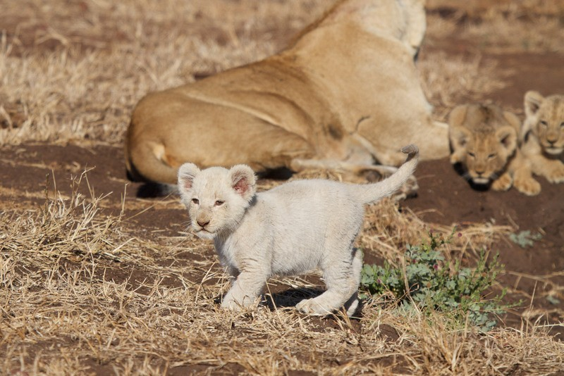 white lion cub, White lion cub seen at Singita Kruger Park