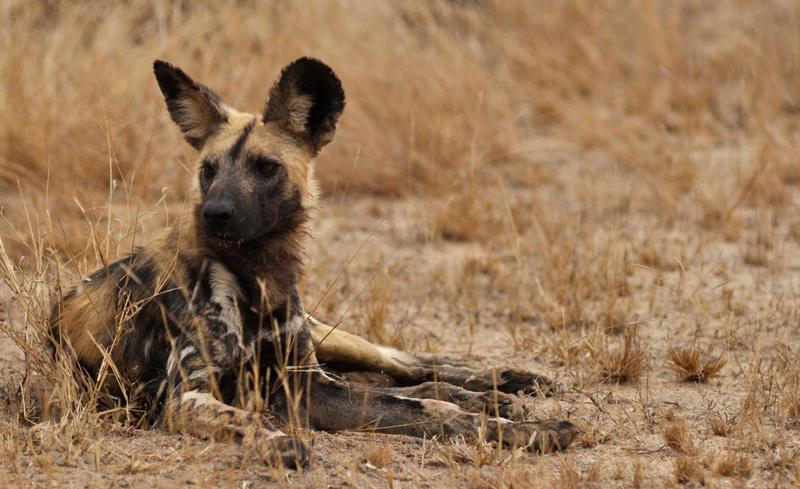 Wild dog at Africa on Foot. ©Kevin MacLaughlin