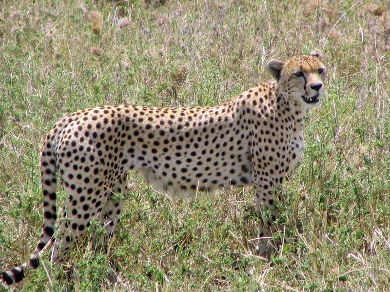 Cheetah seen at Cheetah Plains, Sabi Sand.
