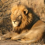 The King Has Spoken: nDzuti lions flee from their kill