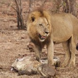 Kruger Lion takes on a crocodile – and Wins!