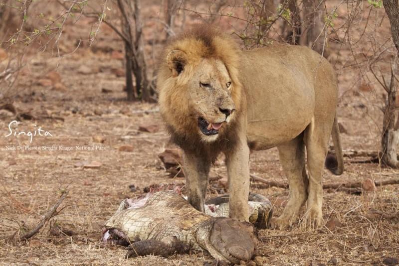 Kruger Lion, Kruger Lion takes on a crocodile – and Wins!