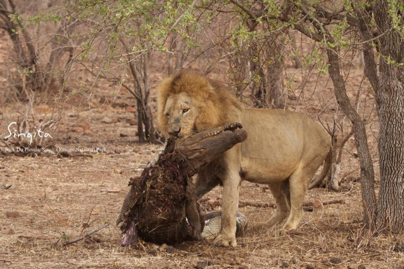 Kruger Lion takes on a crocodile – and Wins! | Sun Safaris