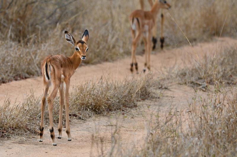 baby impalas, baby season in botswana