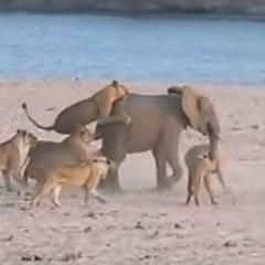 14 Lions versus 1 Elephant Video