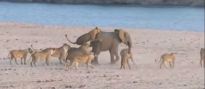 14 Lions versus 1 Elephant Video