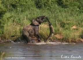 Elephant vs Crocodile at Lion Sands, Kruger National Park