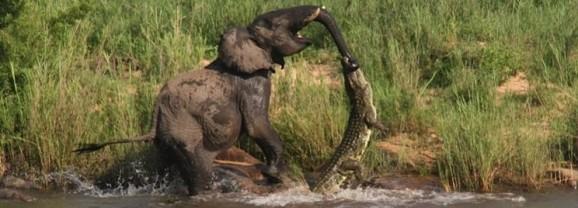 Elephant vs Crocodile at Lion Sands, Kruger National Park