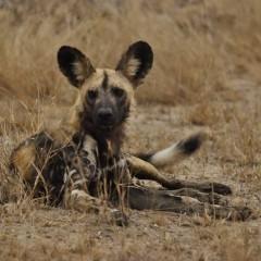 Wild Dogs on Film
