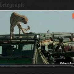 Cheetahs in the Serengeti use safari vehicle to scout game