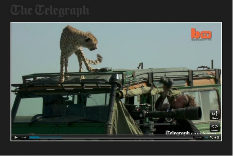 Cheetahs in the Serengeti use safari vehicle to scout game