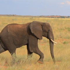 Elephant in the Kalahari!