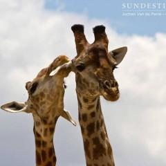 Giraffe Necking Duel in Kruger